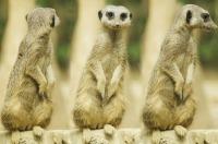meerkat-275967_1280